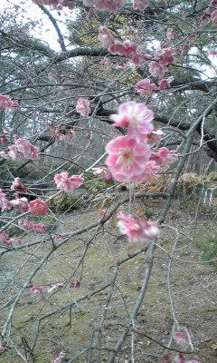 梅?桃?桜?